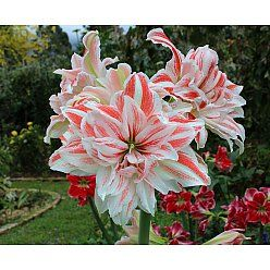 Amaryllis - Dancing Queen.