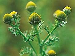 Edible parts: PINEAPPLE WEED flowers and leaves are a tasty finger food while hiking or toss in salads. Flowers can also be dried out and crushed so that it can be used as flour. As with chamomile, pineapple weed is very good as a tea. Native Americans used a leaf infusion (medicine prepared by steeping flower or leaves in a liquid without boiling) for stomach gas pains and as a laxative.