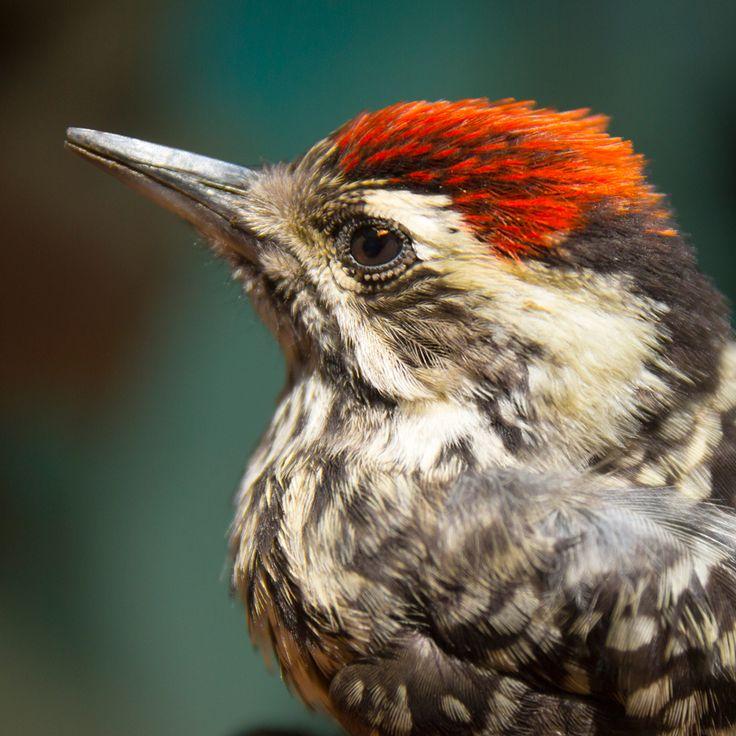 """Su nombre común es """"Carpinterito"""" o """"Carpinterito Chico"""", tiene de largo entre 18 a 19 cm;  se distribuye en #Chile desde Coquimbo por el norte hasta Magallanes por el Sur. Habita en árboles, faldeos, huertos y plantaciones, además de las zonas boscosas del sur. #Aves"""