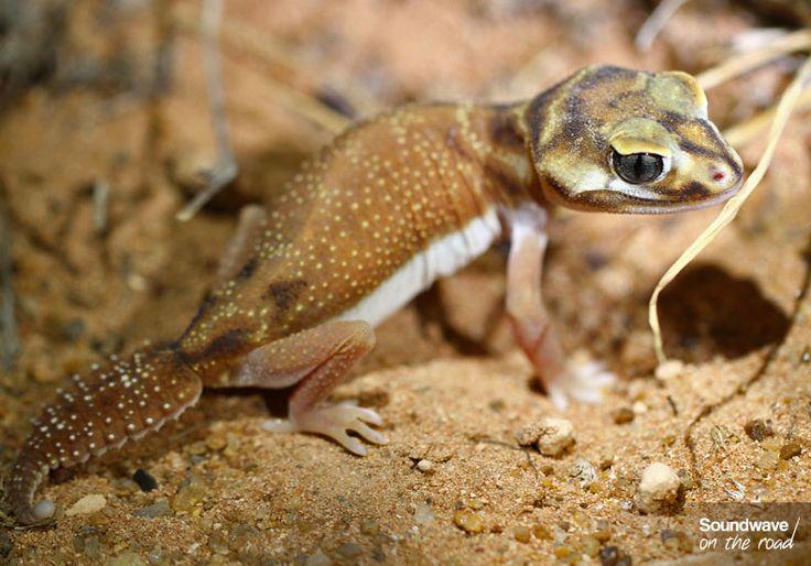 Gecko, Western Australia