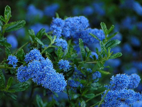 Ceanothus shrub (California Lilac). Evergreen & drought-tolerant./ATTRACTS: Butterflies.  Plant with Butterfly Bush which also attracts Butterflies.