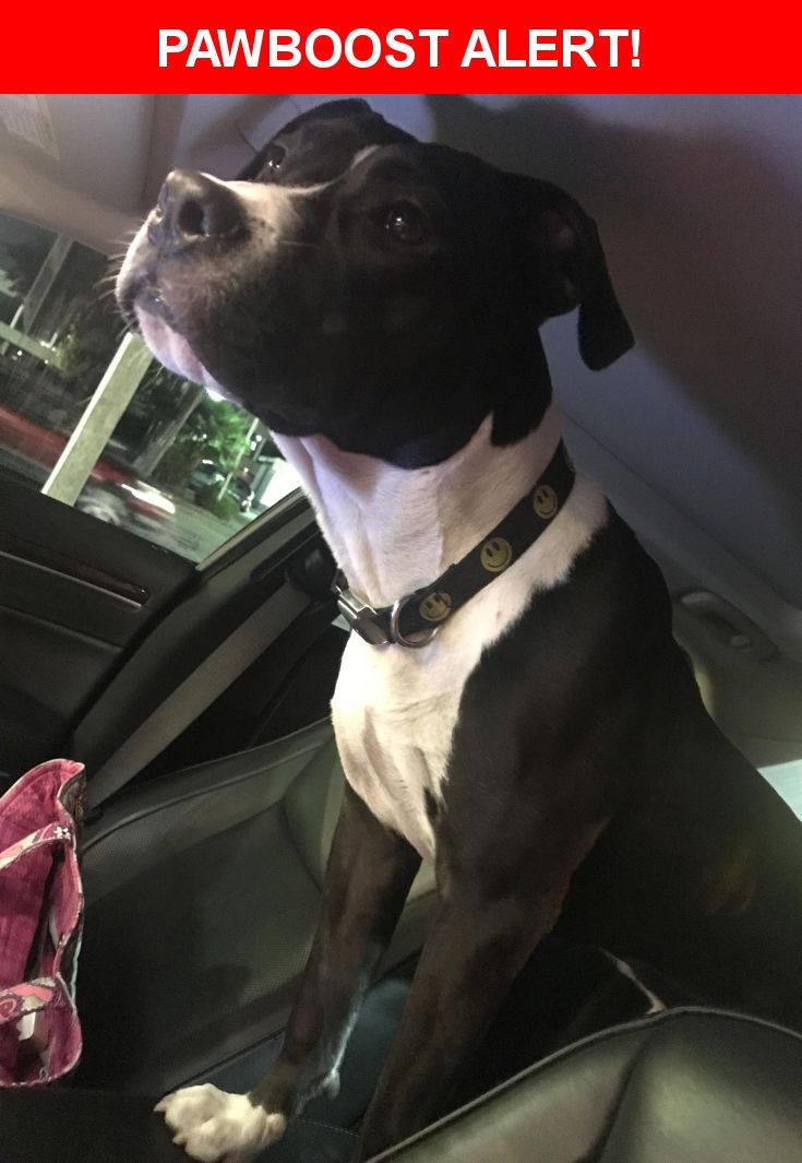 Is this your lost pet? Found in Houston, TX 77057. Please spread the word so we can find the owner!  Black and white boxer pit mix  Near Beverlyhill St & Bering Dr