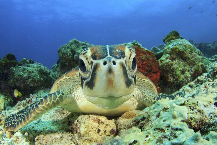 Schildpad, Bunaken National Park. Rondreis - Vakantie - Duiksafari - Duiken - Scubadive Holiday - Indonesië - Noord-Sulawesi - Bunaken National Park - Schildpad - Original Asia