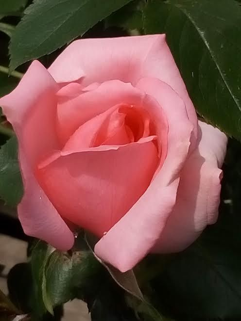 Rose Bantry Bay Climber - lightly scented cup shaped pink flowers