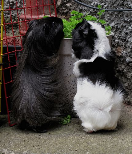 "07/16/2014 ~ ""Friends!"" :: Black & White Guinea looks a bit like a kitty!!!"