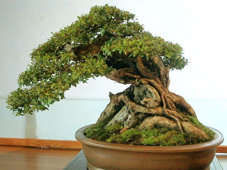 Frascati 2010: best bonsai and suiseki | Kyriolexy