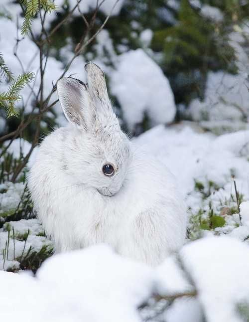 Snow Hare....beautiful! -- [REPINNED by All Creatures Gift Shop]