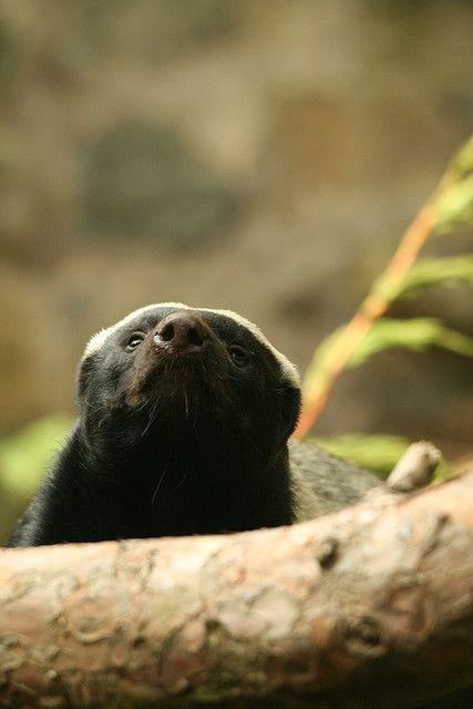 Ratel / Honey Badger