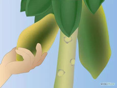 Bildtitel Grow Papaya Step 12