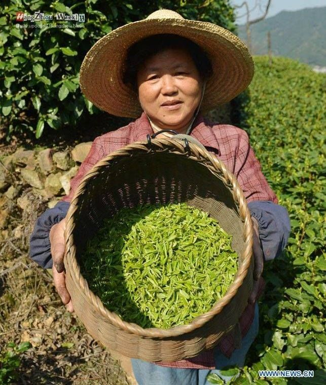The West Lake Longjing Tea-picking season has arrived! Tea farmers are working hard on the first picking of the year now
