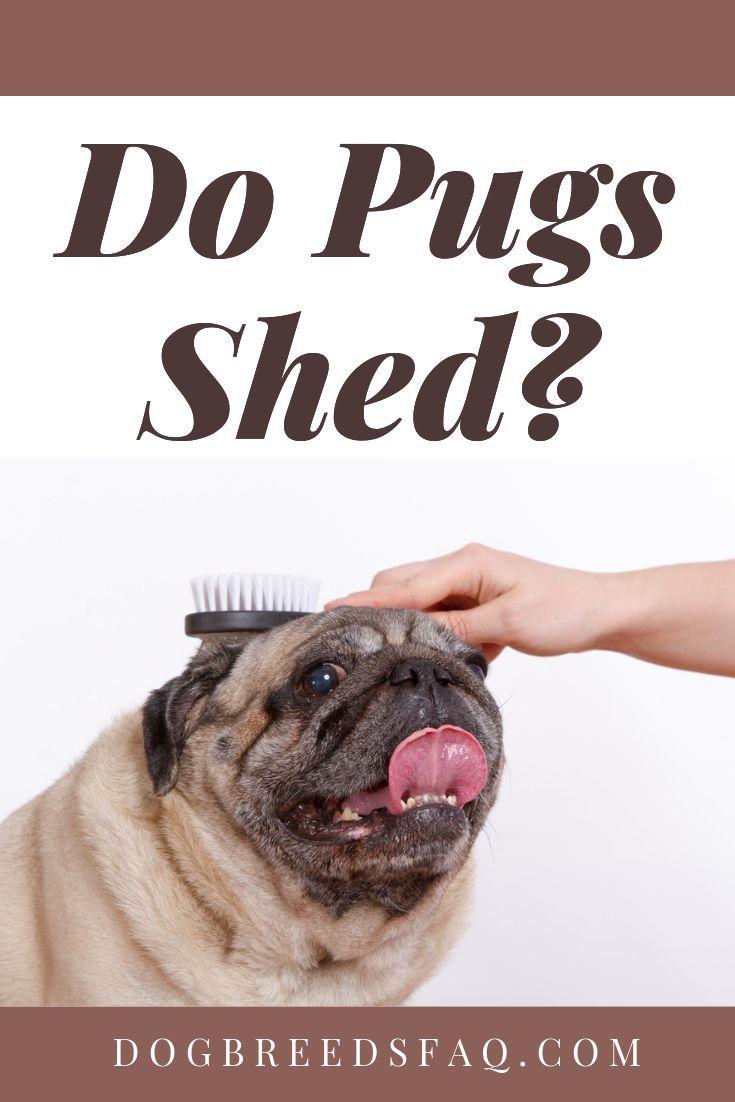 Do Lazy Pugs Shed Or Not Do Pugs Shed Pugs Dog Breeds