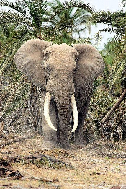 Elephant on safari, Kenya - I didn't know that elephant's went on safari???