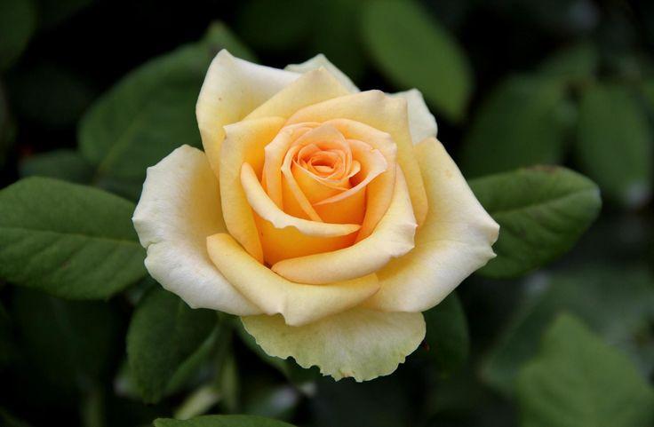 beautiful_rose-1510273.jpg (2048×1339)