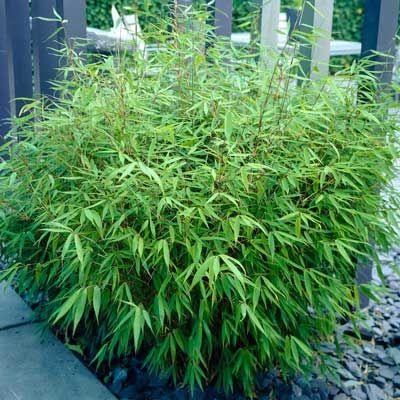 Sunset Glow Bamboo - bamboo hedge, non invasive