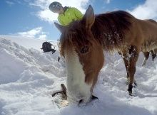 SNOWBOARDER SAVES WILD HORSE STUCK IN SNOW?