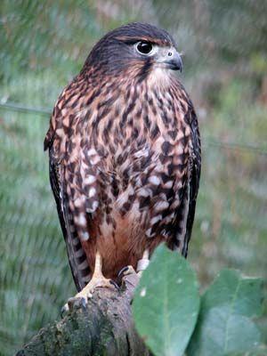 Karearea #NZ #Falcon
