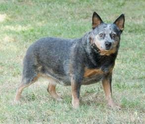 Serena is an adoptable Australian Cattle Dog (Blue Heeler) Dog in Ashland, VA. Serena is a beautiful Australian Cattle Dog/Blue Heeler and will be 8 years young in December. She weighs about 45 pounds...