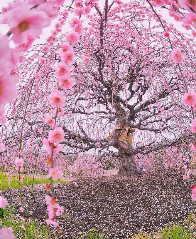 A Beautiful Sakura Tree Sakura Tree Beautiful Tree Unique Trees