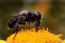 Campeche y la producción de miel de la abeja Melipona. Es una tradición que se remonta a mas de 3.000 años. Los campesinos continúan produciéndola  por la tradición cultural y por sus propiedades curativas. La disminución de la población de esta abeja, nativa de la región maya y que se caracteriza por carecer de aguijón, está siendo alarmante debido principalmente al uso de pesticidas, la tala de árboles y las plantaciones transgénicas, en un lugar declarado Patrimonio Mundial de la…