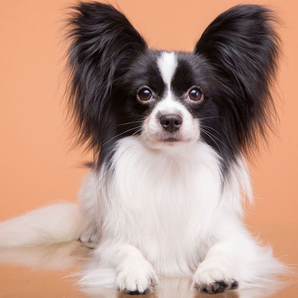 45 best papillons images on pinterest butterflies little dogs and looks like our cousin gizmo solutioingenieria Images