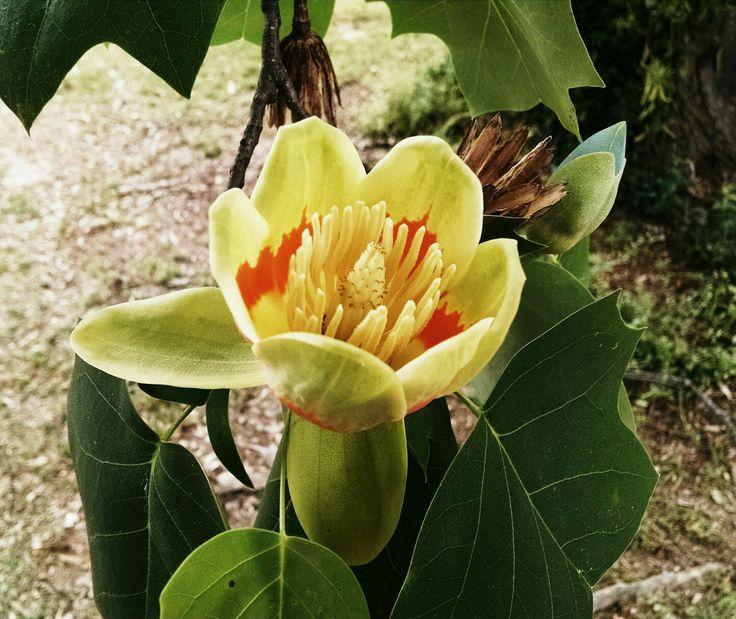 Found a Tulip Popular tree!