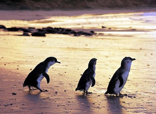 Philip Island, Victoria. Besides being well known for its Grand Prix Circuit, the island is also famous for the penguin parade - one of Australia's most popular wildlife attractions. Every sunset, the little penguins emerge from the sea and waddle across the beach to their sand dune burrows.