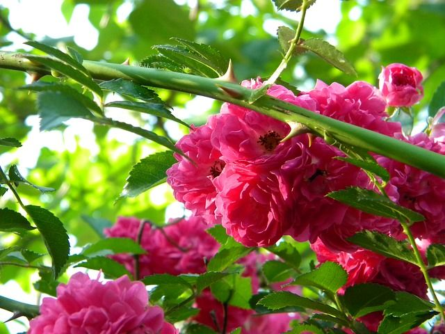 rosal mini lindas flores en el interior plantas y semillas