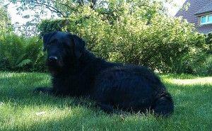 Labrador-Airedale-Terrier Mischling namens Baileys