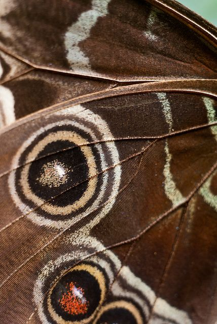 The underside of the morpho's wings, on the other hand, is a dull brown color with many eyespots, providing camouflage against predators such as birds and insects when its wings are closed.