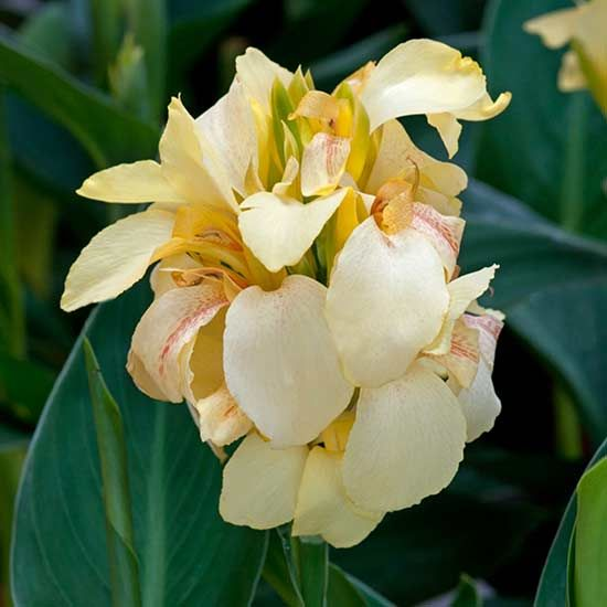 'Cannova Lemon' is the latest in a line of seed-grown cannas with vigorous growth and abundant, showy flowers. Pale, lemony blooms bring a note of tropical flair to containers and landscapes, flowering for several months right up until frost. Give these a shot of organic fertilizer once a month for even more blooms. Plant Name: Canna 'Cannova Lemon' Growing Conditions: full sun Size: 4 feet tall and 2 feet wide Grow it with: sweet potato vine and acorus Image: Ball Horticultural