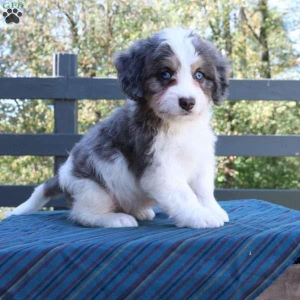 Freddy Mini Bernedoodle Puppy For Sale In Ohio Mini
