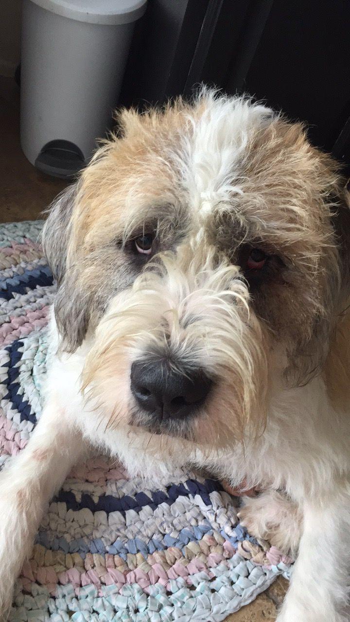 St Bernard Irish Wolfhound Mix Rottweiler Mix Mastiff Mix
