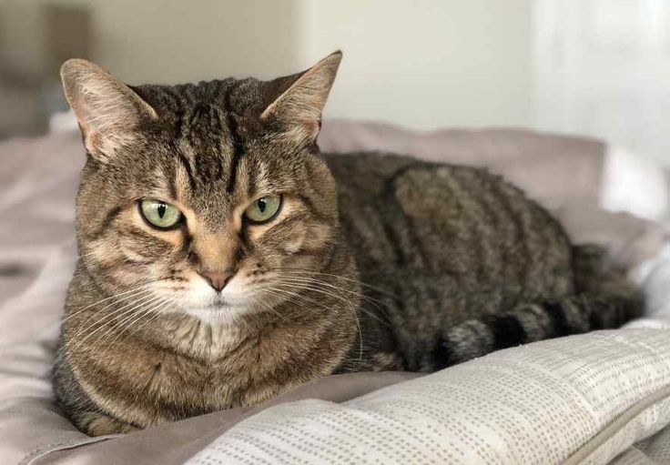 Twin Tabby Cat Sisters For Private Adoption in Seattle WA