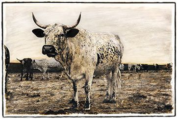 Mother Cow - Nguni Cattle