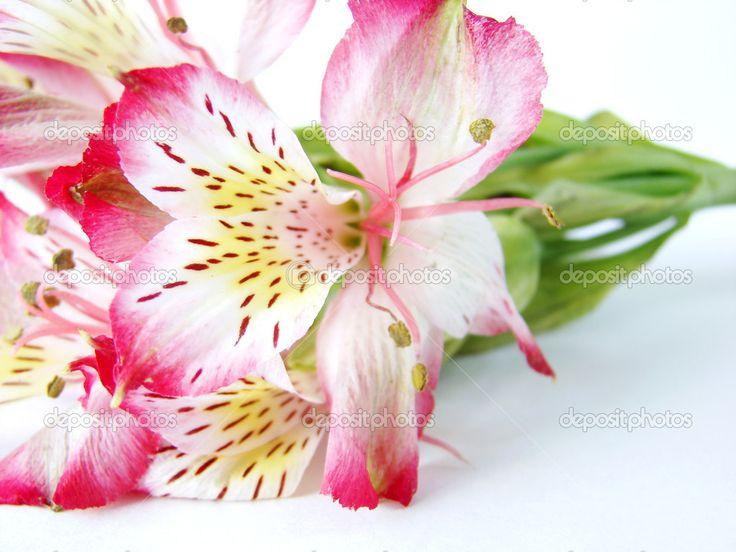 Closeup of Alstroemeria flower — Stock Photo © Flaps. #2669259