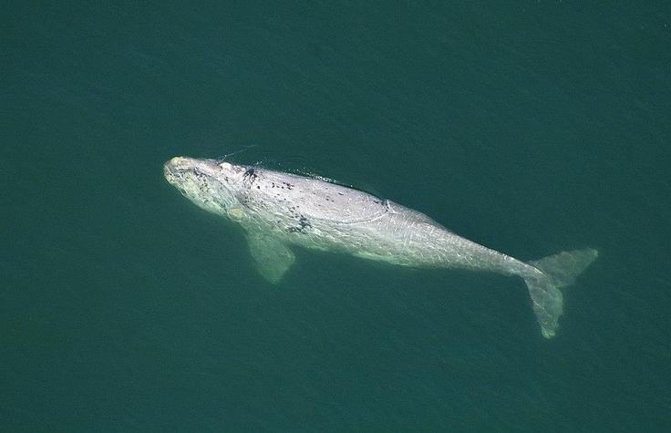 Rare white Southern Right Whale calf - Gansbaai, South Africa
