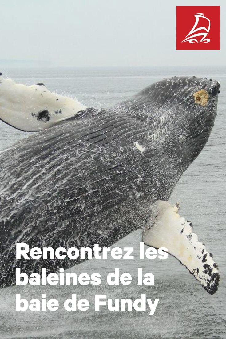 À la rencontre des baleines   Cap sur la baie de Fundy, royaume des plus hautes marées du monde et terrain de jeu de rares et majestueuses baleines.