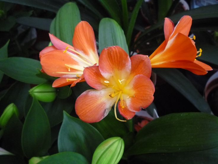 A klívia vagy más néven szobaliliom divatja kissé megkopott, pedig viszonylag egyszerűen tartva csokorban nyíló, nagy virágokkal örvendezteti meg gazdáját. A növény leveleivel is dísze lehet a télikertnek, szobának. Nyáron kiültethető, vagy dézsás növényként az erkélyen is tartható. http://kertlap.hu/klivia/