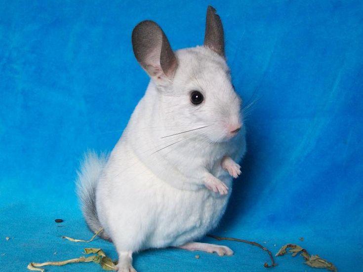 Pouky, chinchilla white, chinchilla wilson,chinchilla mosaïc