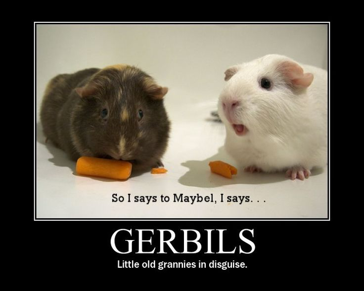 14 best images about Mammals, pets, pigs, gerbils, etc on ...