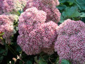 This Autumn Joy sedum is just beginning to bloom! - Fall Blossoms #fall #flowers #gardening