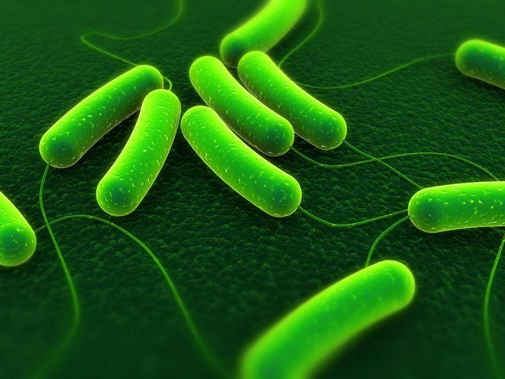 De dieren bezweken aan een bacterie die het ademhalingssysteem en de ingewanden aantast.