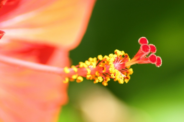 Orange and Red Hibiscus by emeraldimp, via Flickr