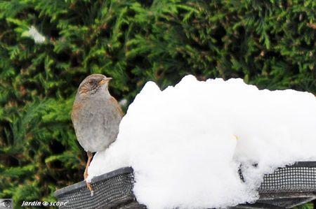 """Animaux oiseaux...L'accenteur mouchet, le """"traine buisson"""" du jardin !  Frawsy"""