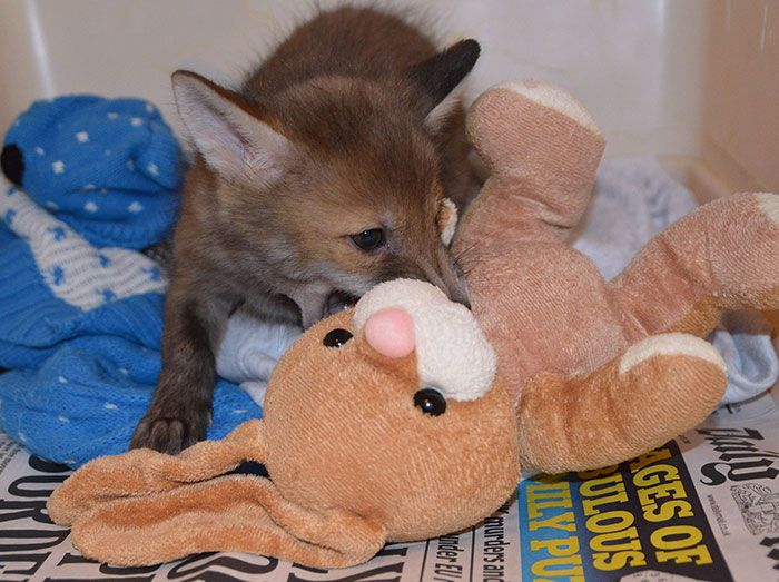 This rescued baby fox needs to cuddle with its plush bunny toy Check more at http://giveitlove.com/rescued-baby-fox-needs-cuddle-plush-bunny-toy/