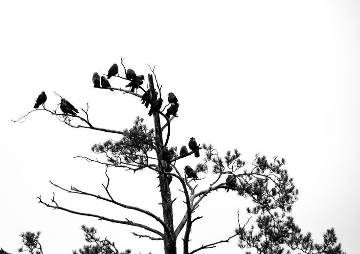 Naakat puussa , Jackdaws