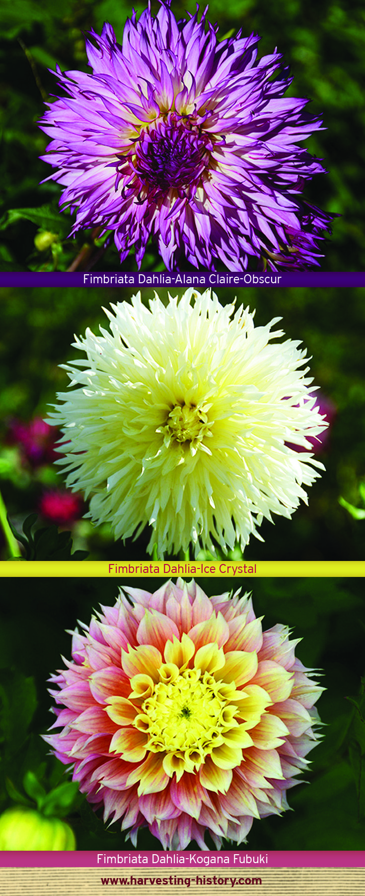 Fimbriata Dahlias Take Their Name From The Latin Word Meaning Frilly The Flower Heads Are Fully Double With Long Thin Petals That Revolu Dahlia Flowers Petals