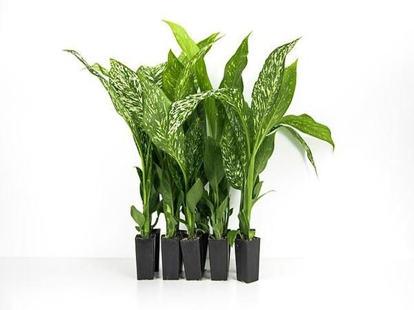 Dieffenbachia seguine 'Etna' has dark green leaves patterned with white flecking. Suits 140mm pots and a great indoor and outdoor plant. Makes for a striking feature plant around the home.   Our plants are beautifully grown, mature tube stock with well developed roots. They can be planted directly into the ground and are excellent performers for the shadier parts of your garden or as an indoor plant.