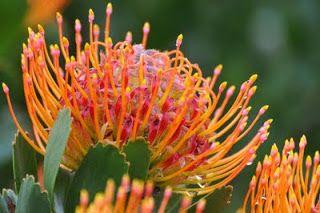 El Jardin Botanico Kirstenbosch, Sud Africa Las Proteas son las flores nacionales de Sud Africa,