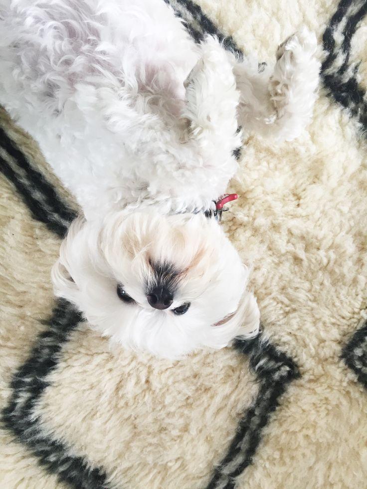 Hunden er minst like myk som vårt Beni Ourain-teppe, men han er hakket søtere!